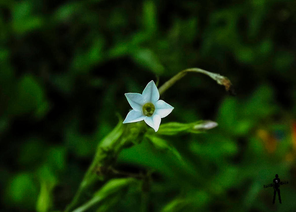 Weed Flower - Queen of Night by rajjib