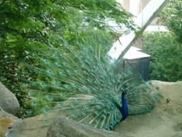 The peacock's Glory by xXNeon-HeartXx