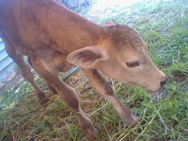 Mocha, My Baby Cow c: by xXNeon-HeartXx