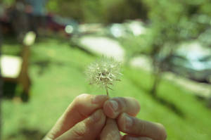 White Dandelion Flower ... by Cin89