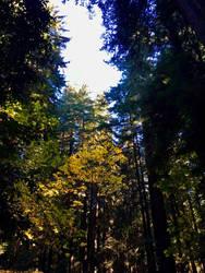 Fall Foliage Among the Redwoods