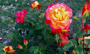 Two-Tone Roses