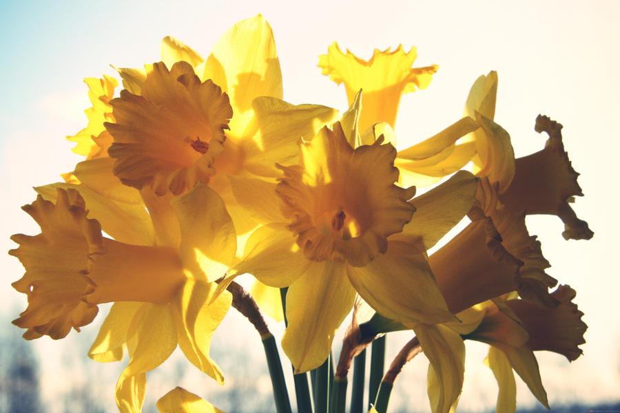 Daffodils by missunderztood