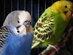 Fluffy Blue Bird of Happiness
