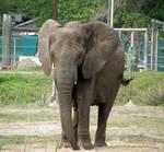 Elephant Stock