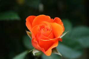 Rose, symbol of passion