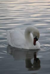 Swan 1