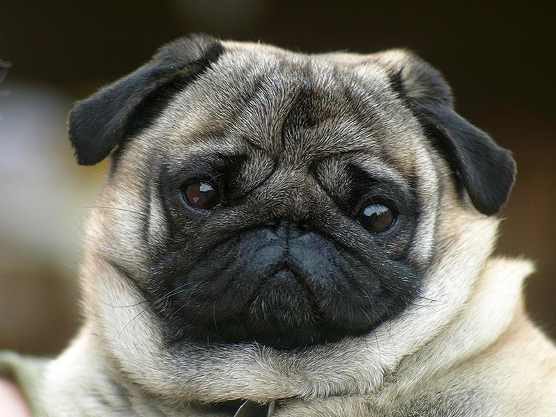 Pug Mops by sandor99
