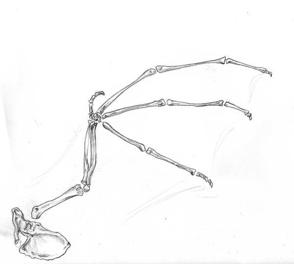 Bat wing skeleton - photo#5