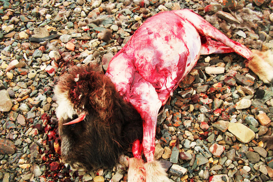 Musk ox after skinning by skyejacqueline on deviantart for Skin it fish skinner