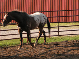 Appaloosa Stock 2 by StridingStrong-Stock