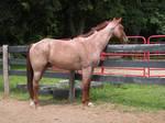 Zeke: Red Roan AQHA Stallion 2