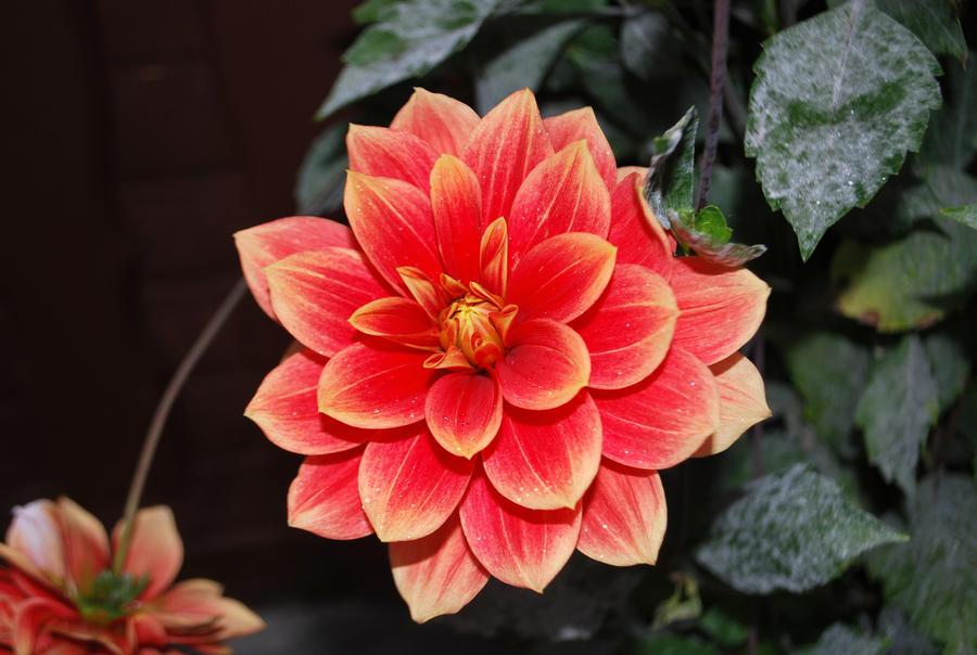 Germany flower 2 by kuraiyukita