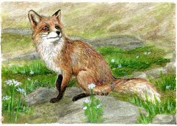 Jigs'tm - fox ACEO by LisaCrowBurke