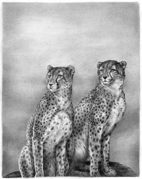 African Cheetahs - pencil