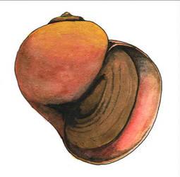 Pomacea insularum shell
