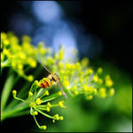 dill with fly by XSini