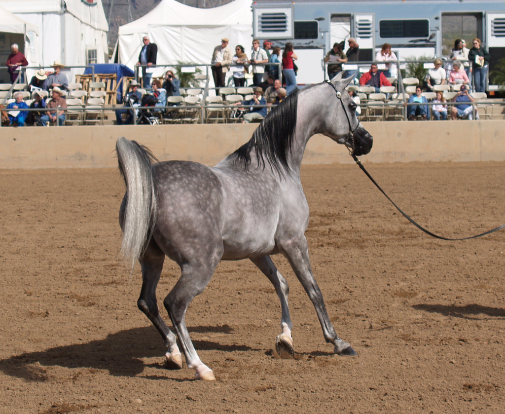 Grey Arabian Horses for sale  HorseClicks