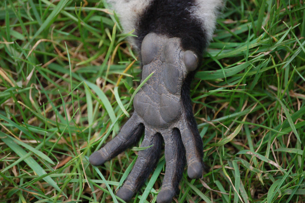 Rough lemur's hand