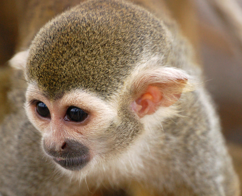 Spider monkey face by sicklittlemonkey
