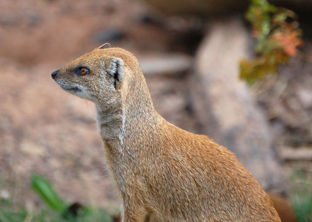 Yellow Mongoose by sicklittlemonkey