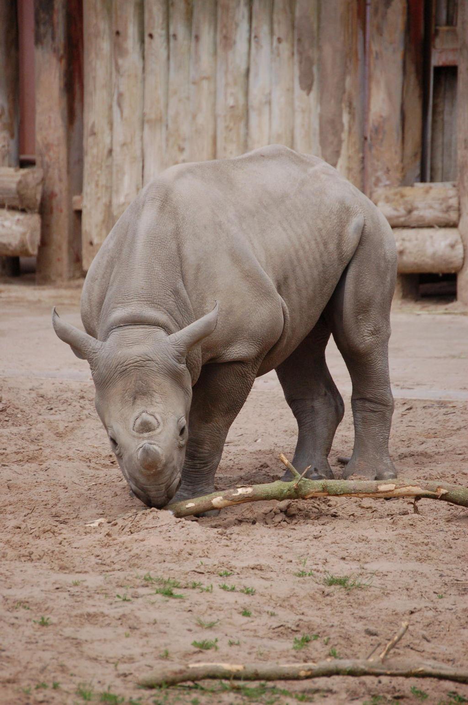Baby black Rhino by sicklittlemonkey on DeviantArt