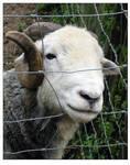 Long Horned Sheep