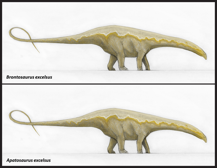 Brontosaurus excelsus and Apatosaurus excelsus by ...
