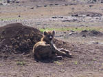 Hyena stock 2