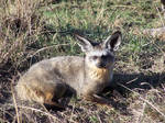 Bat Eared Fox Stock