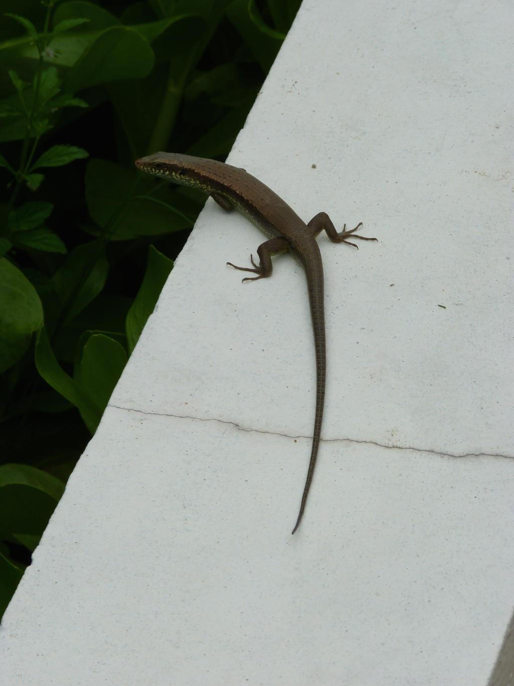 Small Lizard Stock 2