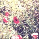 Wild Poppy G l o w
