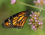 Monarch with Pink Flowers by 3whiteroses