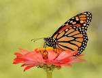 Monarch on a Pink Flower