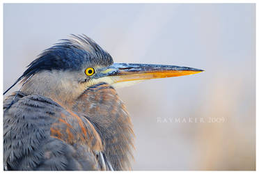 Portrait of a Heron by Raymaker