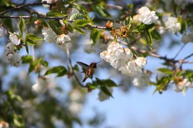 Rufous Hummingbird 2 by 94MonthsAgo