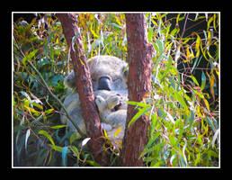 Cozy Koala by Kookaburragirl