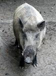 Adult Male Boar 01 Stock