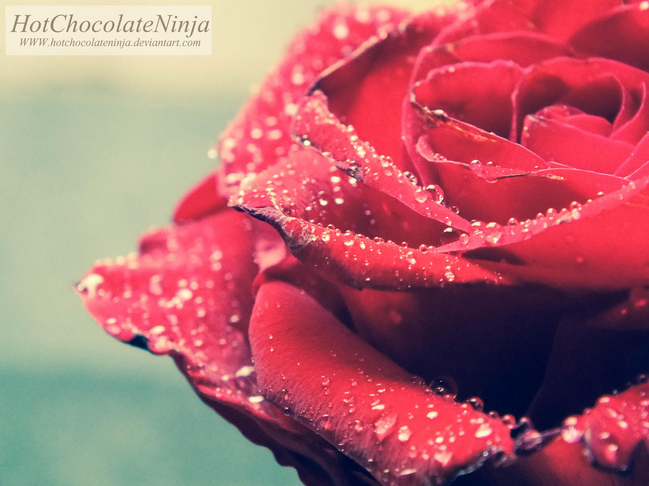 Rose-1 by HotChocolateNinja