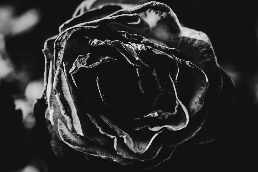 rose II by JordanRobin