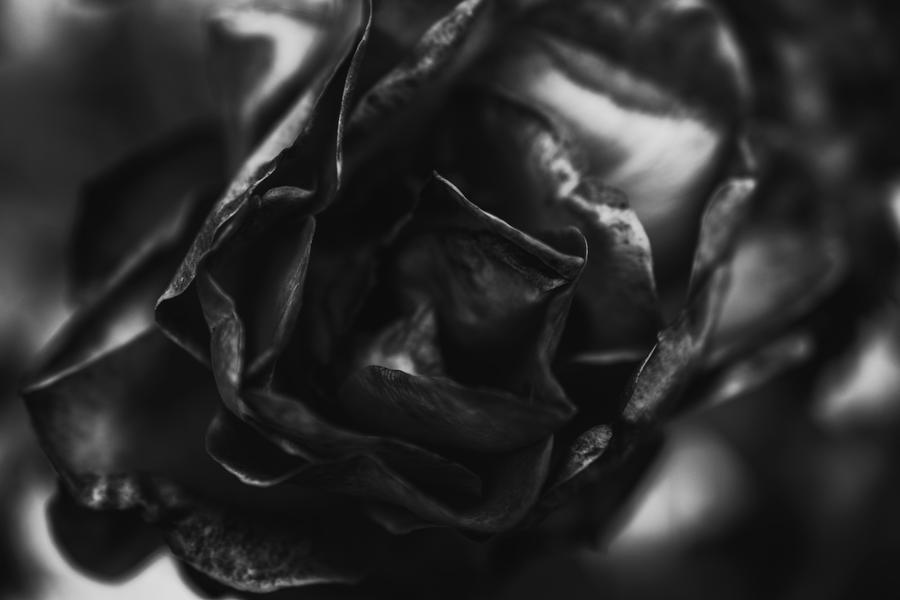 rose IV by JordanRobin