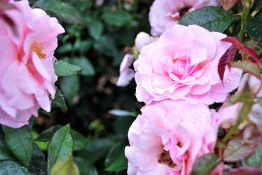 Pink Raindrops