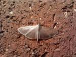 Translucent Moth