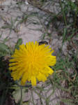 Native Bee on Dandelion