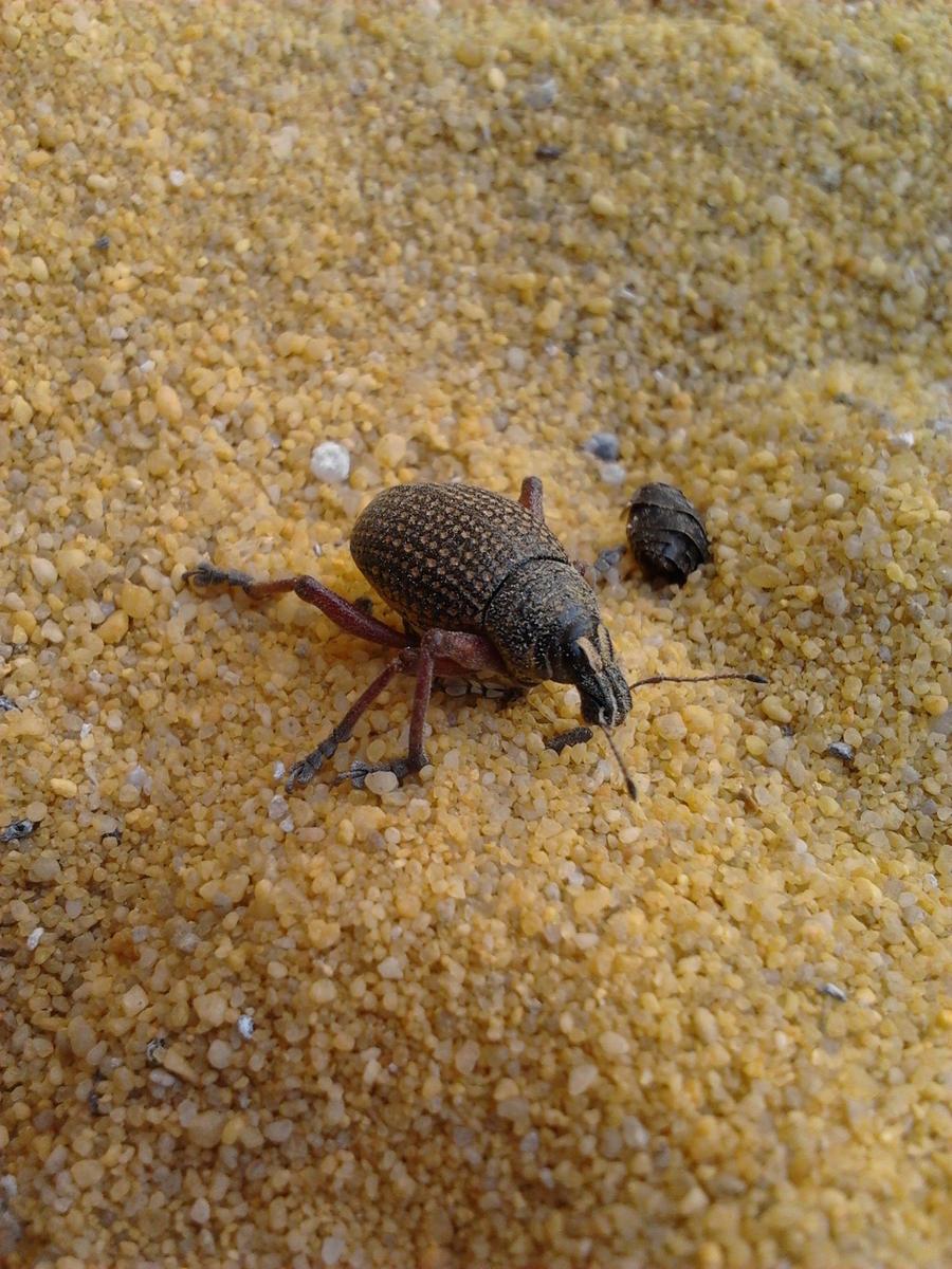 Red-Legged Weevil