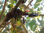 Eurymeloides pulchra - Gum Leafhopper, and Ants