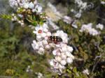Pale-Bellied Castiarina Jewel Beetle