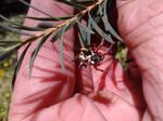 Spiny Jewel Spider
