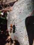 Another Mirid Wasp-Mimic