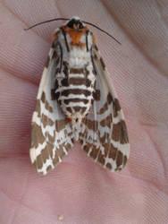 Light Ermine Moth - underside by Drhoz